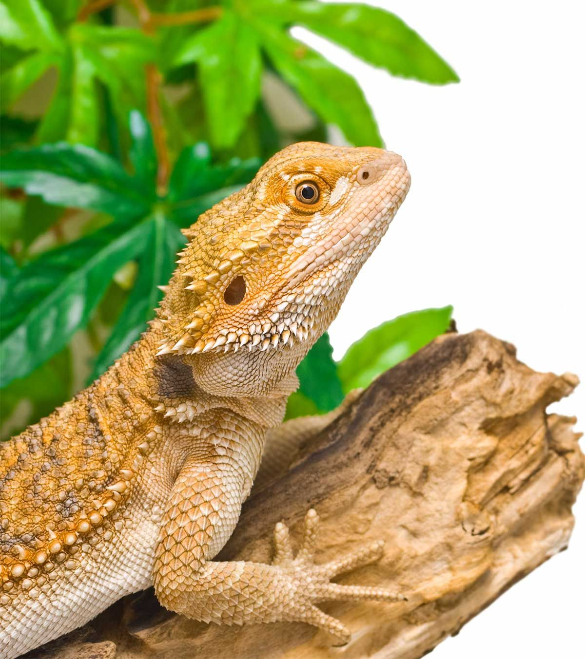 How To Care For A Bearded Dragon - A Simple Bearded Dragon Care Guide