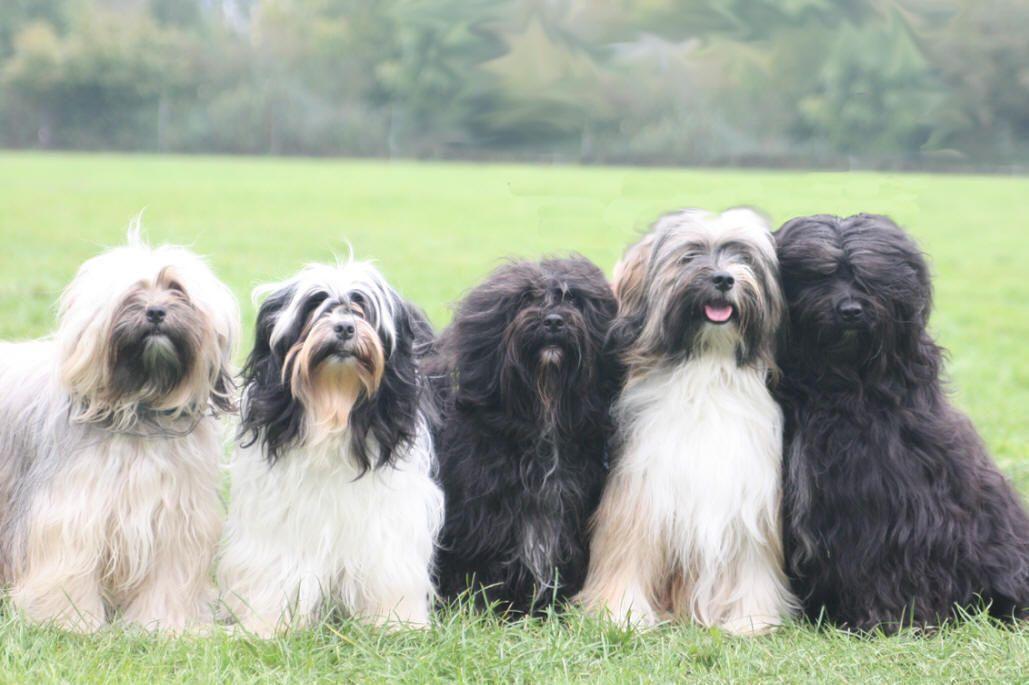 Tibetaanse Terrier Sumanshu Tibetan Terrier Tibetan Terrier Terrier Pet Breeds