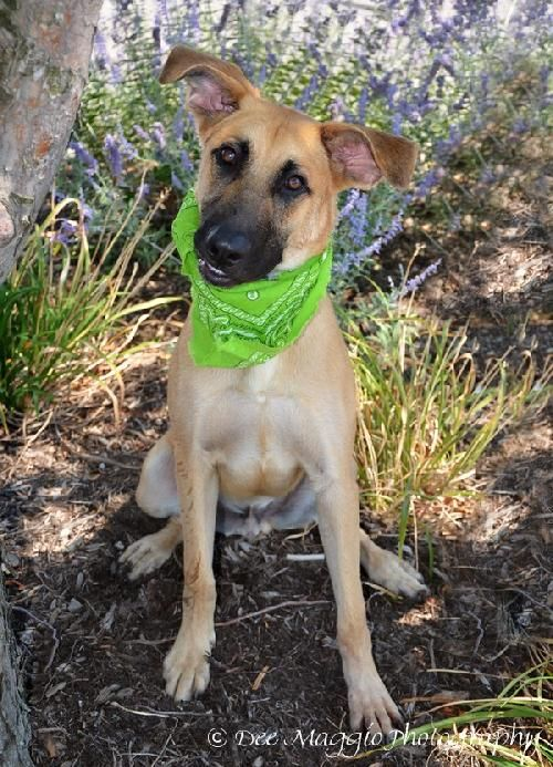 Joe Is A Male German Shepherd Great Dane Mix 50 Pounds And