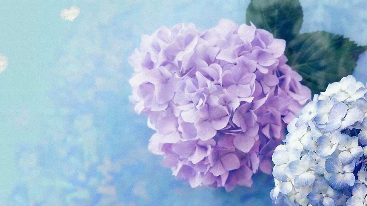 Purple Hydrangea Wallpapers Hd Flower Seeds Hydrangea Wallpaper Bonsai Garden