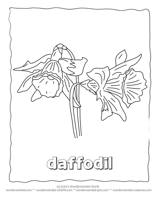 Flower Coloring Sheets Daffodils Free Printable Flower Coloring