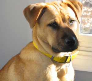 Info about the mixed breed Boxador or boxer/lab. Who knew ...