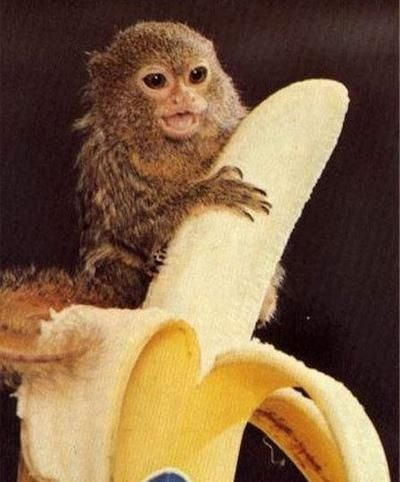 Never get between a monkey & his banana!