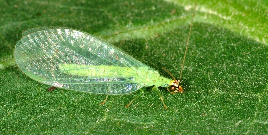 A Crisopa é usada em todo o mundo para controle biológico de pragas na agricultura. Conheça melhor este inseto e como ele pode ser de ajuda na sua horta