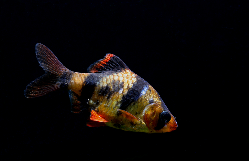 The Tiger Barb Has Long Been One Of The Most Popular And Most Kept Aquarium Fish Species And There Are Today A Wide Va Aquarium Fish Animals Beautiful Fish Pet