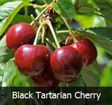 4 In 1 Cherry Tree Fast Growing Trees Cherry Tree Growing Cherry Trees