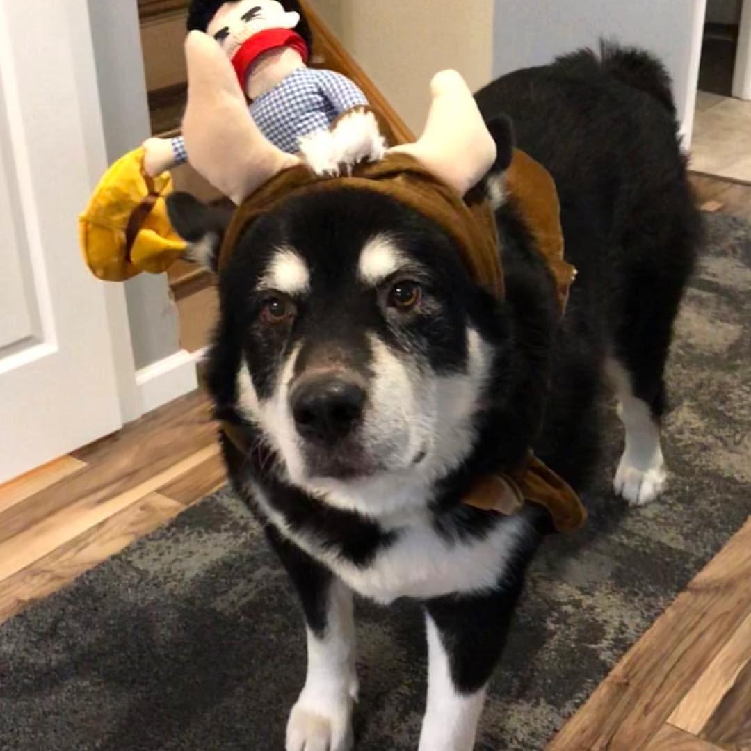 Dog Halloween Costume Cowboy Saddle Outfit It S Time Malamute Alaskanmalamute Malmutesofinstagram Bestdogever Alaskan Malamute Malamute Grizzly