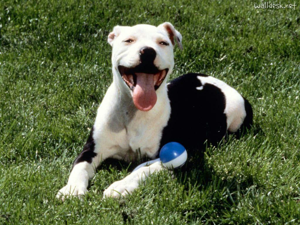 American Pit Bull Terrier | ... para baixar como papel de parede Satisfied, American Pit Bull Terrier