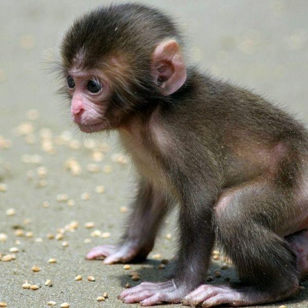 Affe als Haustier eine neue exotische Mode! Affe als