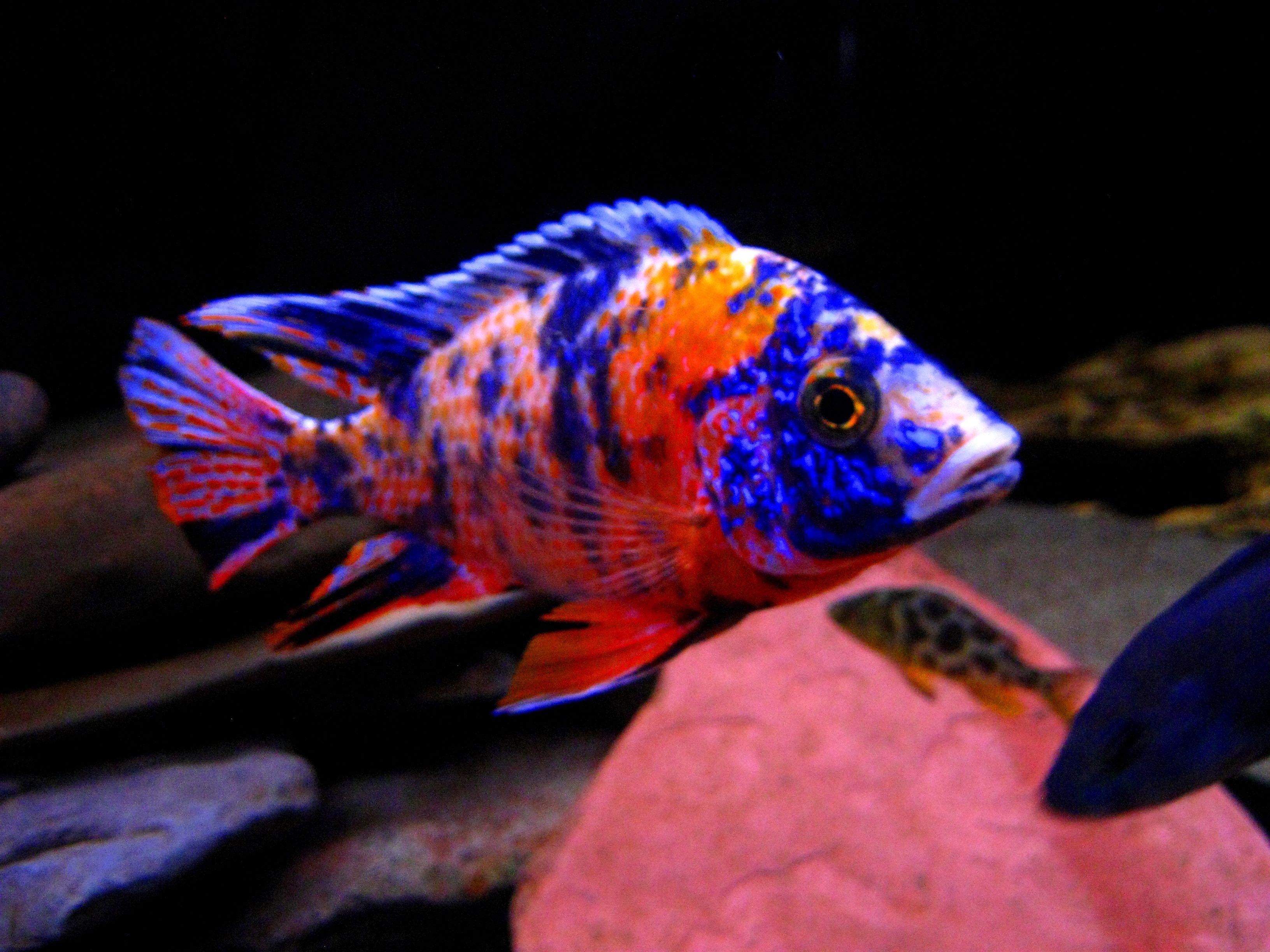 Aulonocara Sp Hybrid Ob Peacock Cichlid Image Result For Ob Peacock Cichlids African Cichlid Aquarium African Cichlids Cichlids