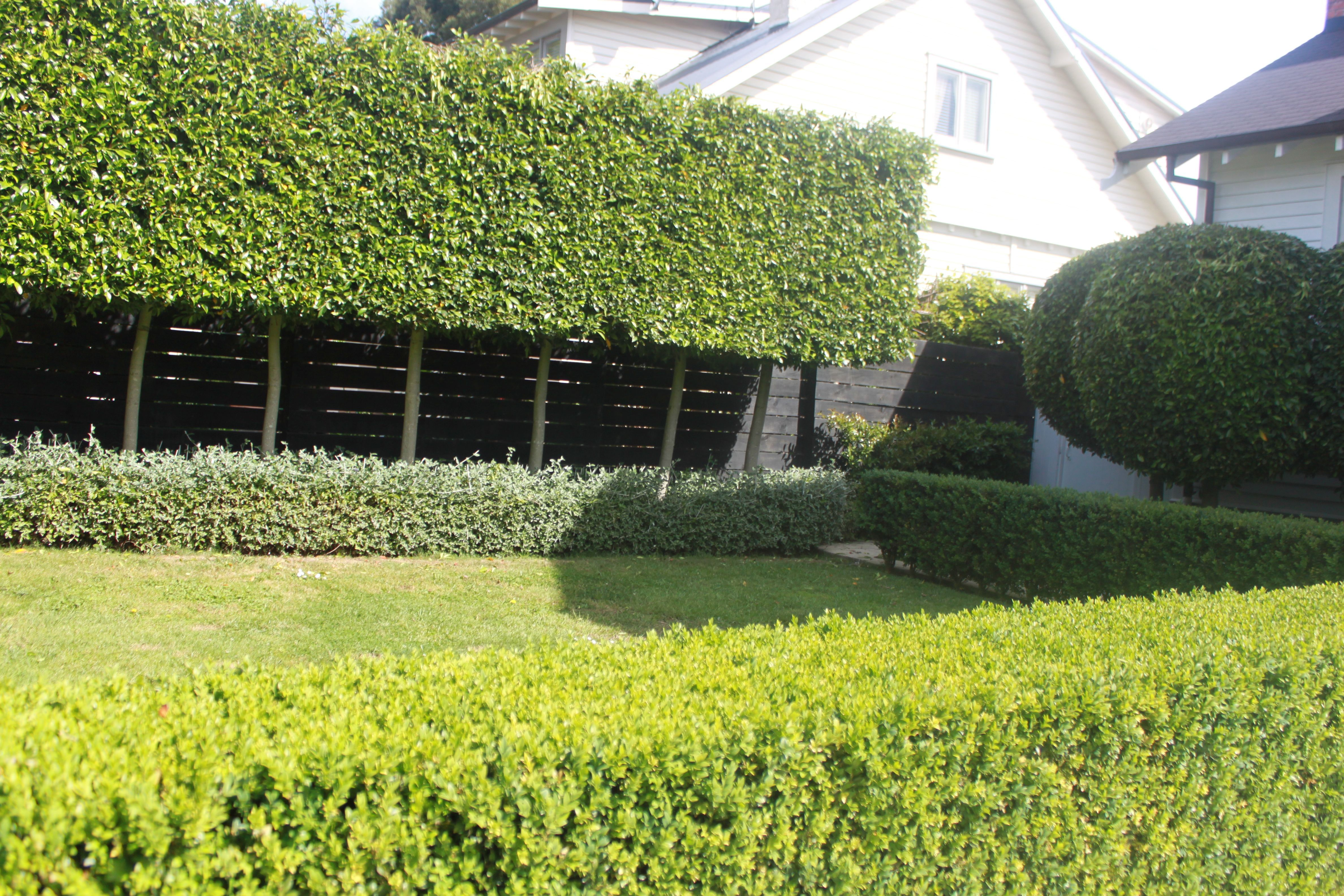 Pleached Trees Auckland New Zealand Privacy Screen Outdoor Landscape Design Tree