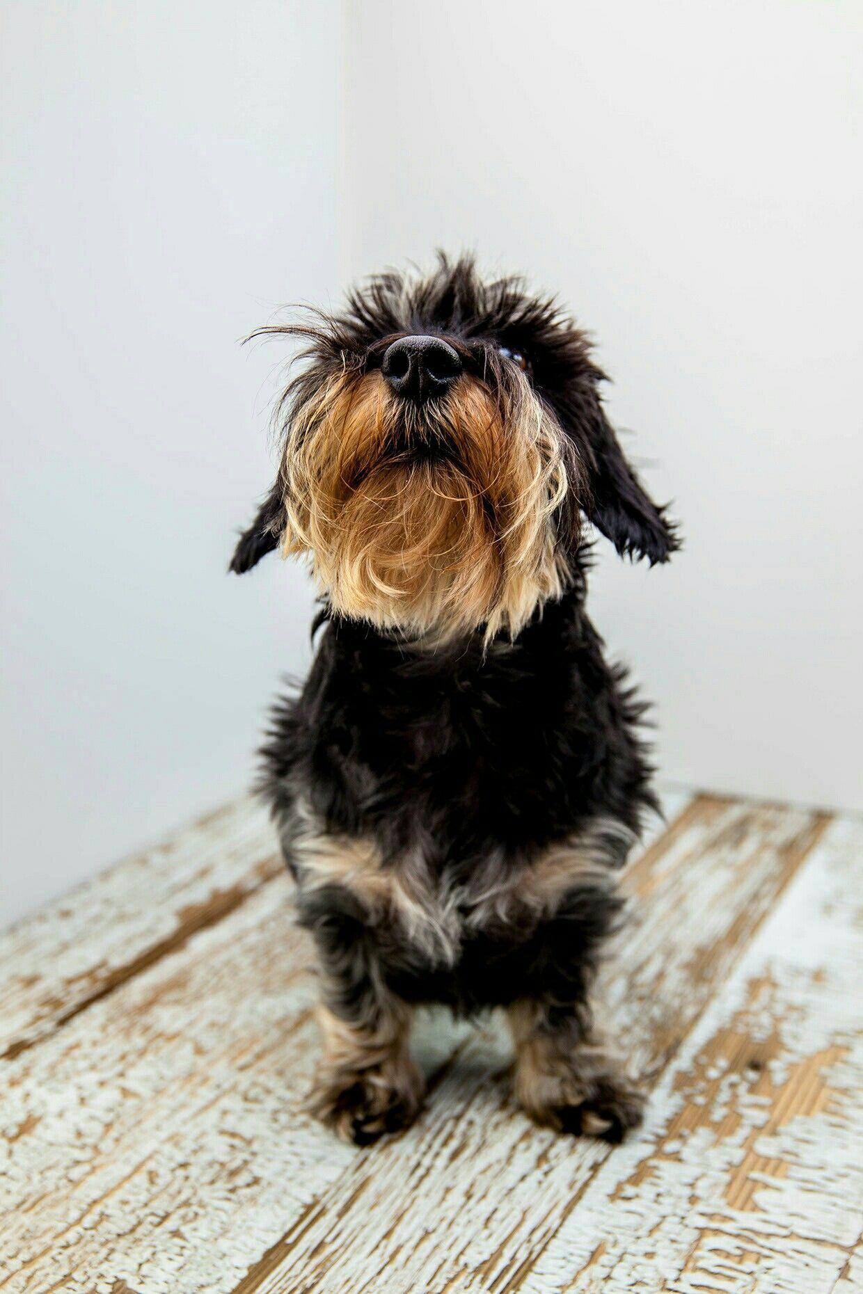 Dachshund Wirehaired Wire Haired Dachshund Weenie Dogs Dog Friends