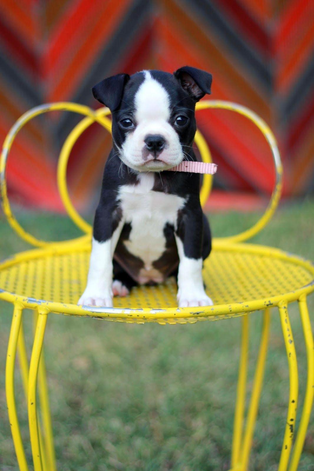 Pin On Boston Terriers