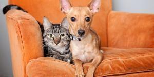 Adopt American Staffordshire Terrier Dog Named Casper Omega California Dog Animal Society Cool Pets