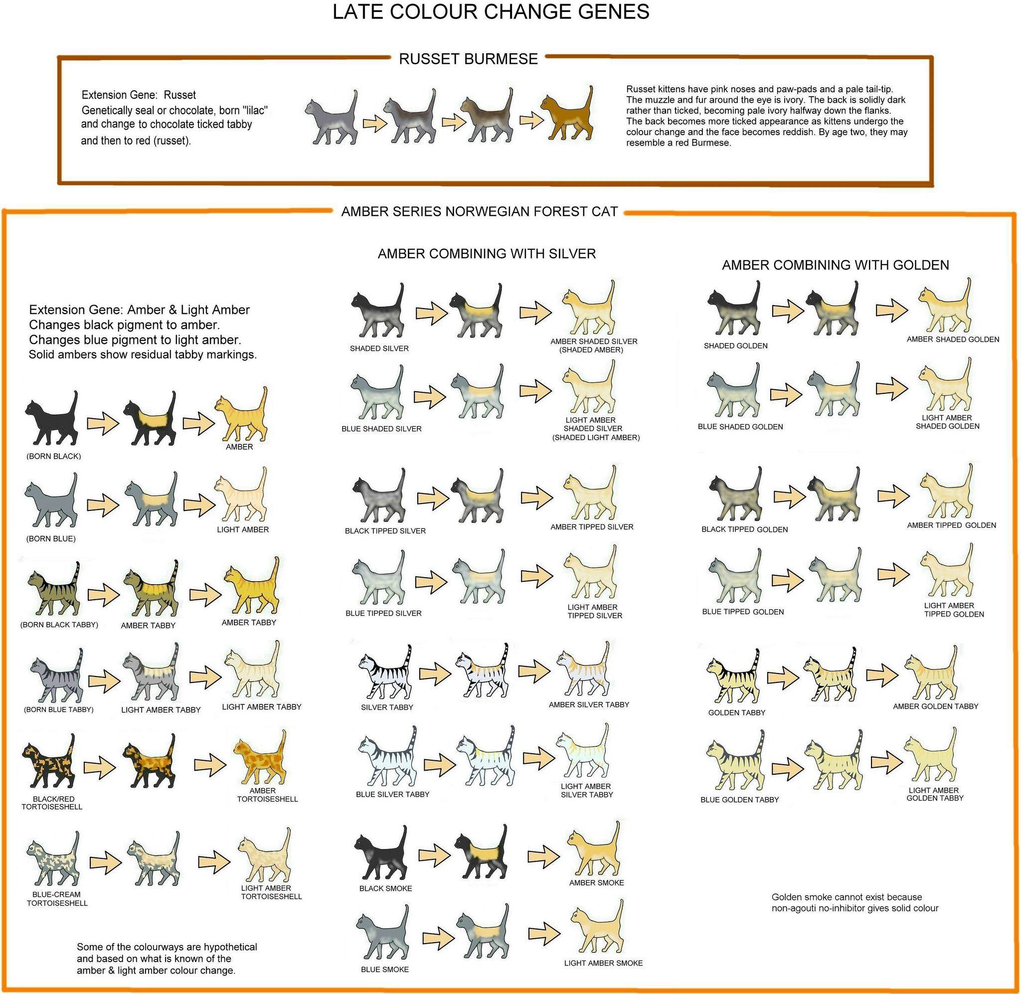 Amber & Russet (Colour Change) Chart Cat colors, Ragdoll