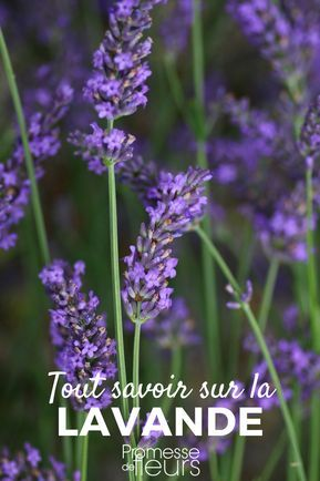 Lavande : planter, cultiver, tailler | plantes | Planter lavande, Lavande jardin, Planter de la ...