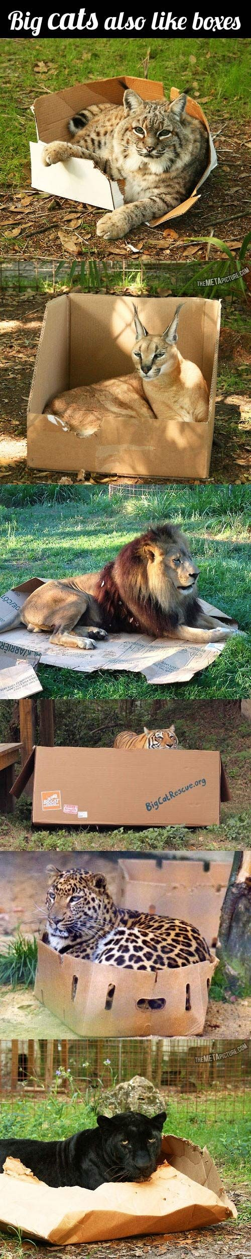 Big Cats Also Like Boxes!!!