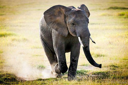 Dancing Elephant Elephant Animals Dance