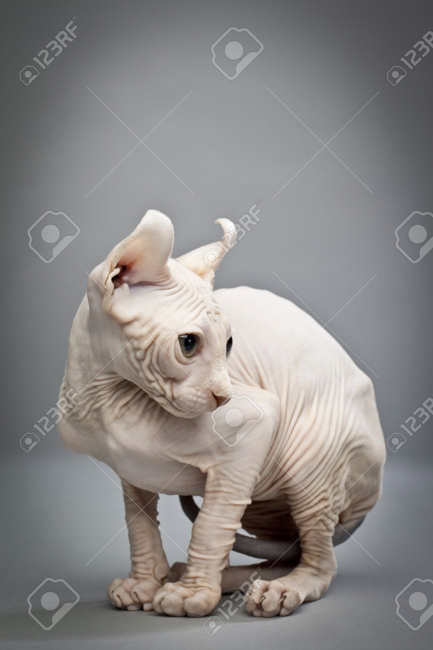17353160-A-hunched-over-hairless-cat-Elf-Cat-and-Sphynx-Breeders-HOUSE-OF-Q-www-elfcatsincanada-com-Stock-Photo.jpg  (8661300) | Felidae | Pinterest