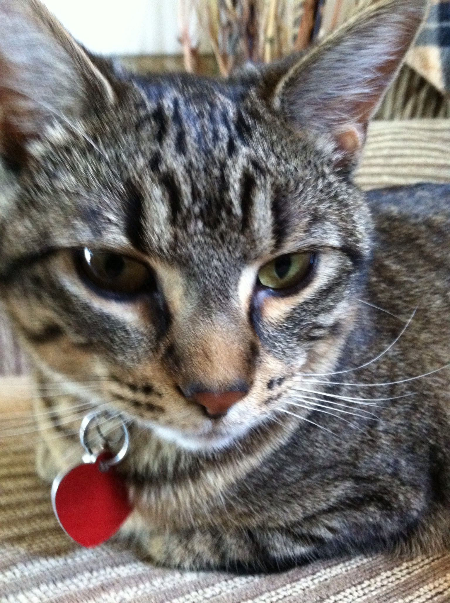BROWN TABBY CATS on Pinterest | Tabby Cats, Kittens and Cat