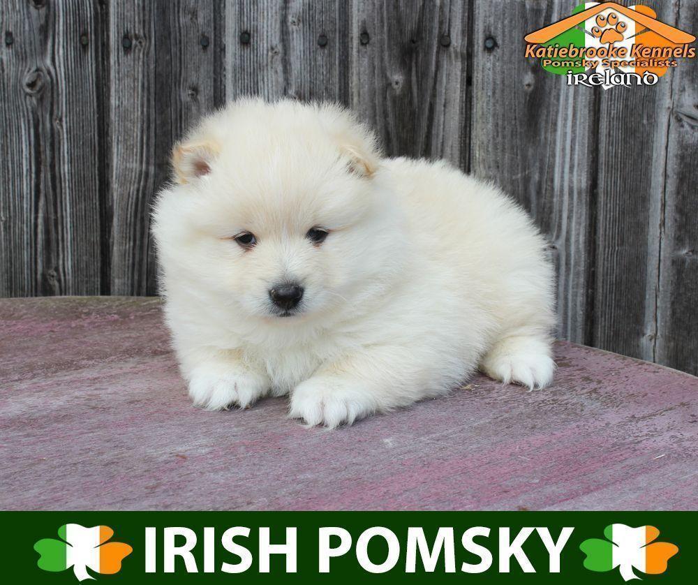 Katiebrooke Kennels Pomsky Specialists Ireland Price 1000 F2