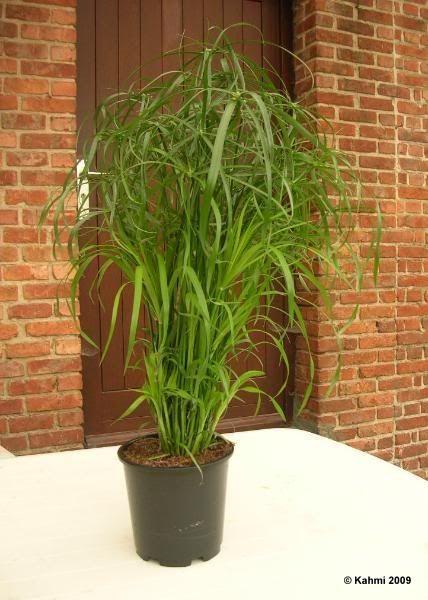 les meilleures plantes d 39 int rieur cyperus alternifolius papyrus feuilles alternes cyperus. Black Bedroom Furniture Sets. Home Design Ideas
