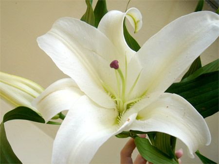 Pin By Jessie Miller On Photography Lily Flower Flower Meanings Lily Plant Care
