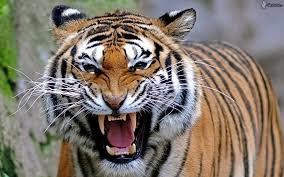 Tigre Agressif Visage De Tigre Animales Les Chats Sauvages