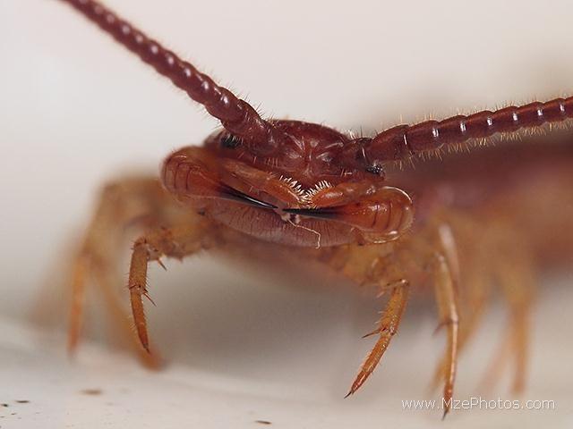 House Centipede Dangerous
