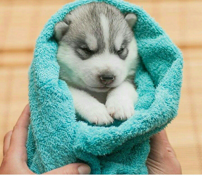 Husky Newborn Puppy Too Cute Newborn Puppies Malamute