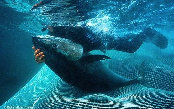 New Scientific Report Shows Pacific Bluefin Tuna Population Down - scientific report