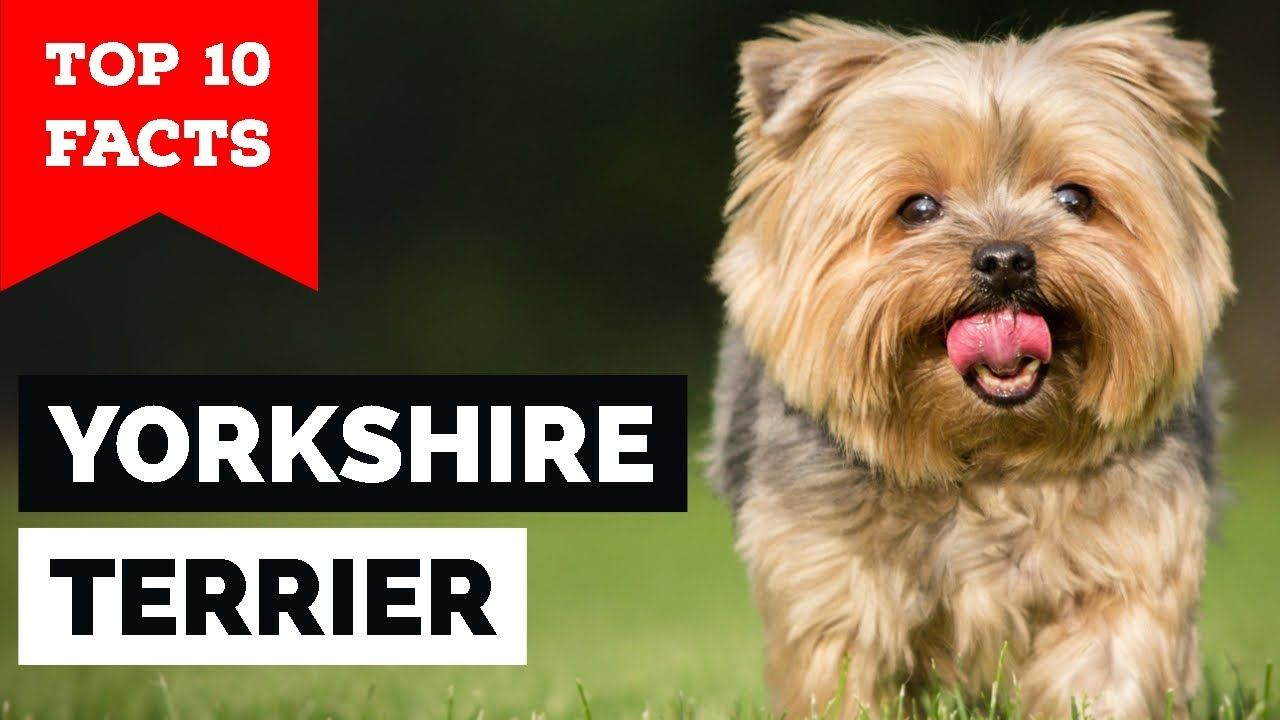 Yorkshire Terrier Top 10 Facts Most Popular Toy Dog Breed In