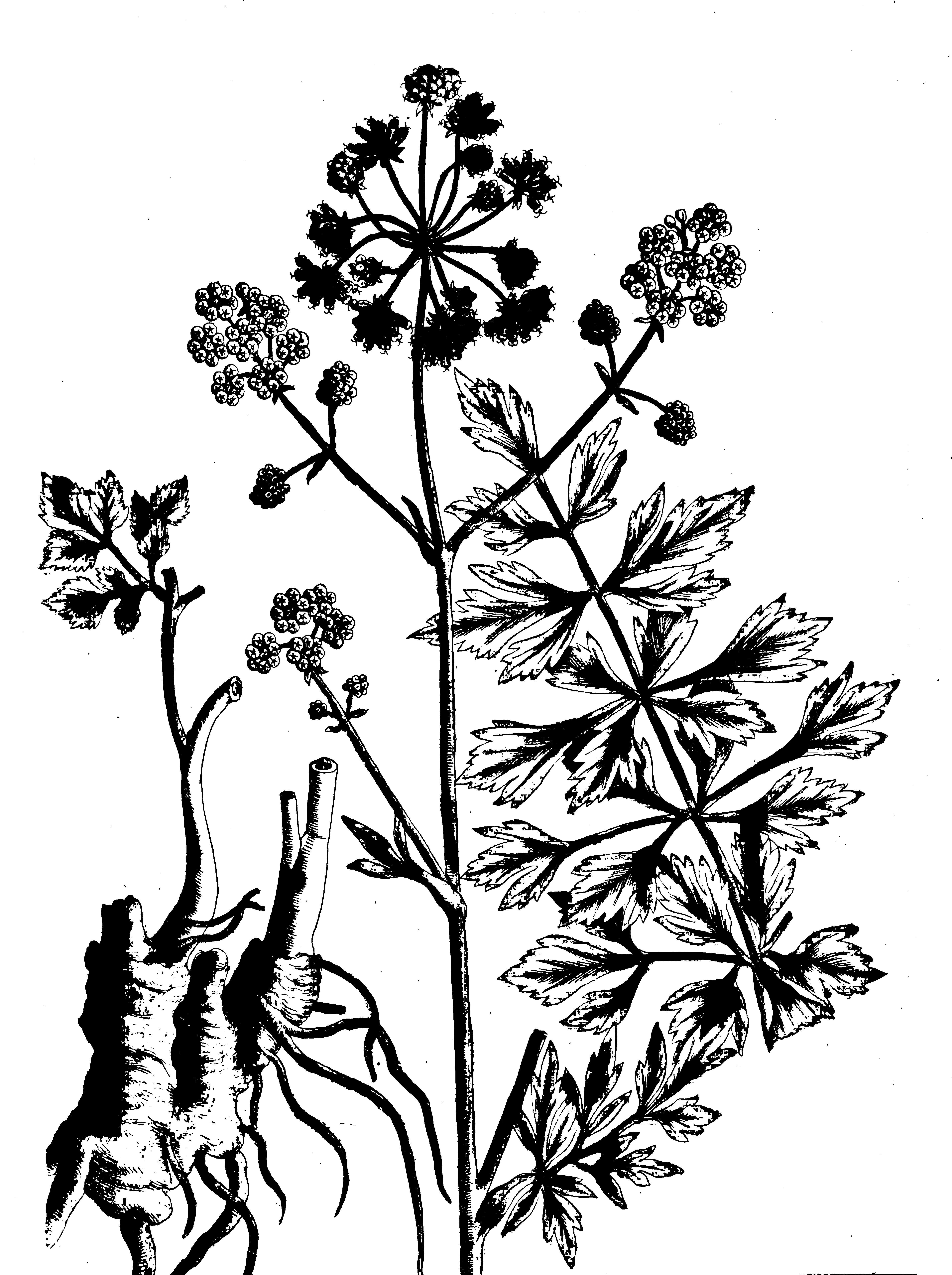 Liveche Ou Levisticum En Latin Appele Aussi Celeri Des Montagnes Ou Herbe A Maggi Est Une Plante Vivace Appartenant A La Fam Plante Vivace Botanique Vivaces