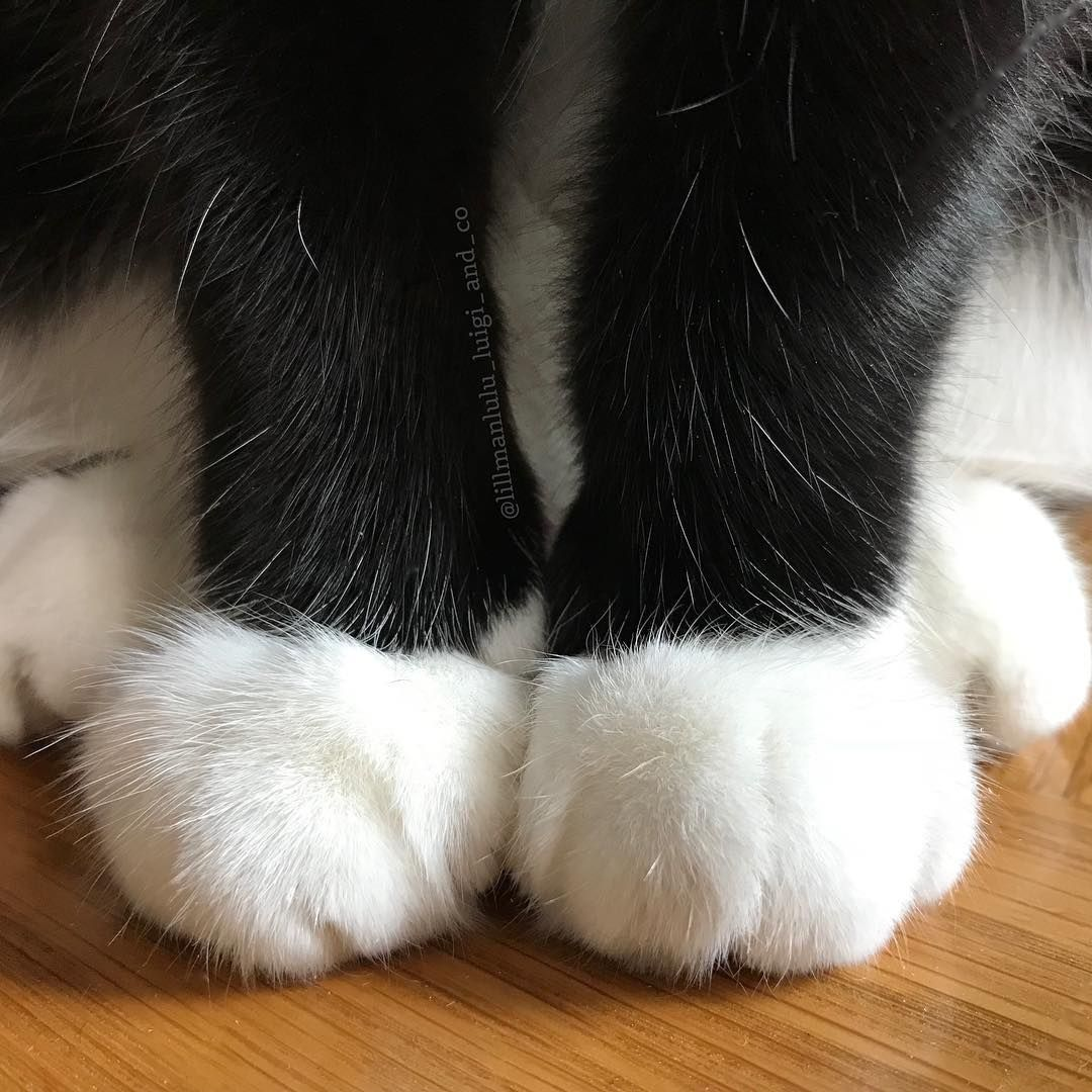 Tuxedo Cat Hula Pompompaws By Marjan Debevere