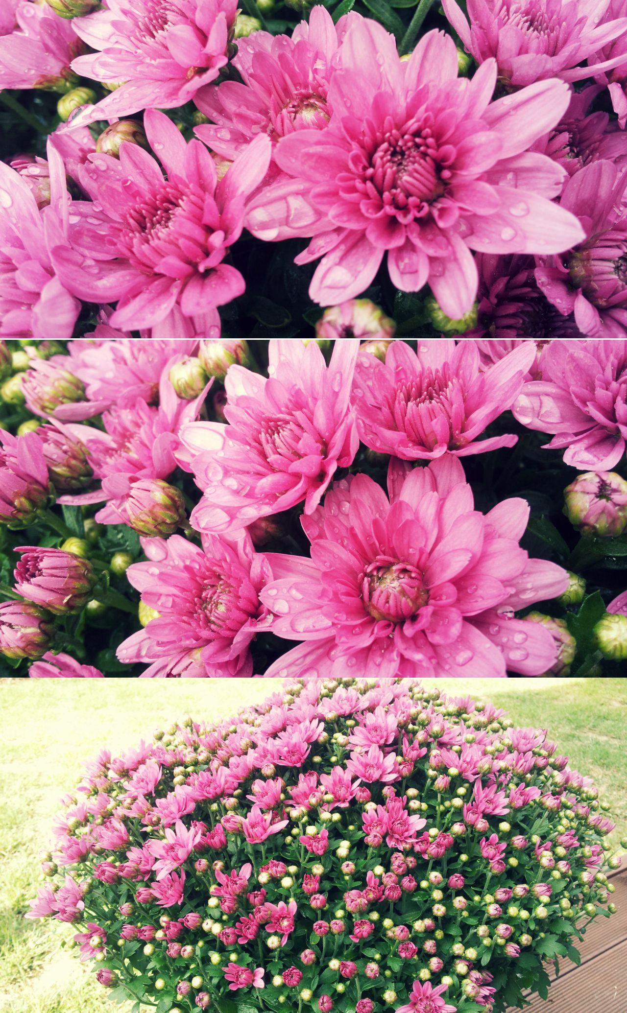 Purple Chrysanthemum Morifolium Chrysanthemum Morifolium Chrysanthemum Flowers