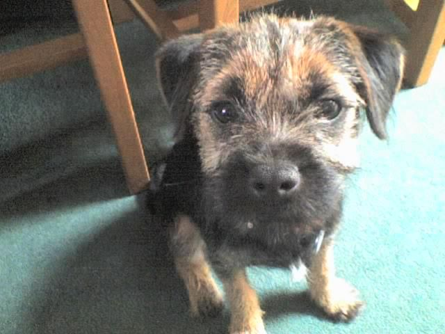 Piglet Pig In Reflective Pose Little Dogs Border Terrier Brown Dog