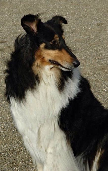 Duffy At The Beach Rough Collie Collie The Perfect Dog