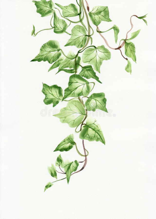 Https Www Google Com Search Q Ivy Leaf Safe Vss Client Firefox B Tbm Isch Tbs Rimg Cwu1gl2xe8lsijgfppx7dbe5qqupsw4 1ba 1eb Leaf Texture Plant Leaves Ivy Leaf