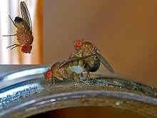 Drosophila Melanogaster A Simplified Explanation Thebugsquad Fruit Flies Fruit Sweet Smell