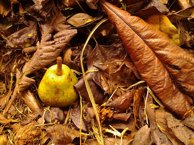 Pêra de outono by askforjazz, via Flickr