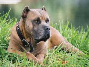 Cane Corso pedigree database - - BOSS DEL ARES -- detailed