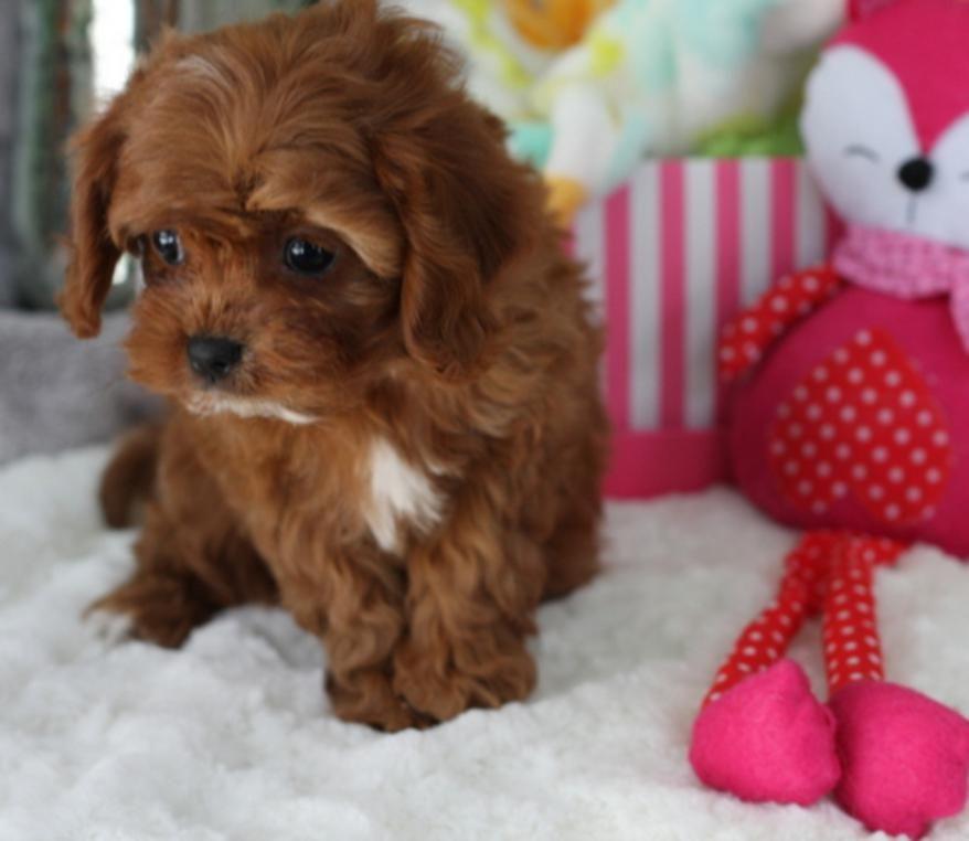 First Haircut Cavachon Puppies Cavachon Puppies