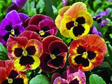 pansy - Google Search