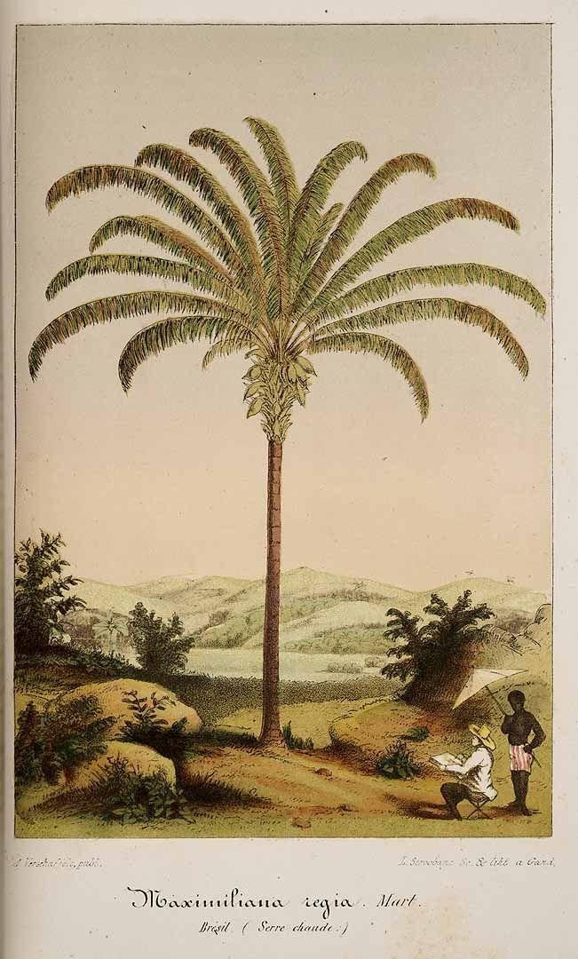 Maripa Palm - Attalea maripa - circa 1855 - Fronds grow up to 39 feet long