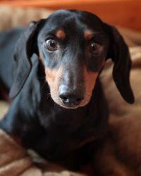 Adopt Boo Boo Lonely Heart On Black Tan Dachshund Adoptable