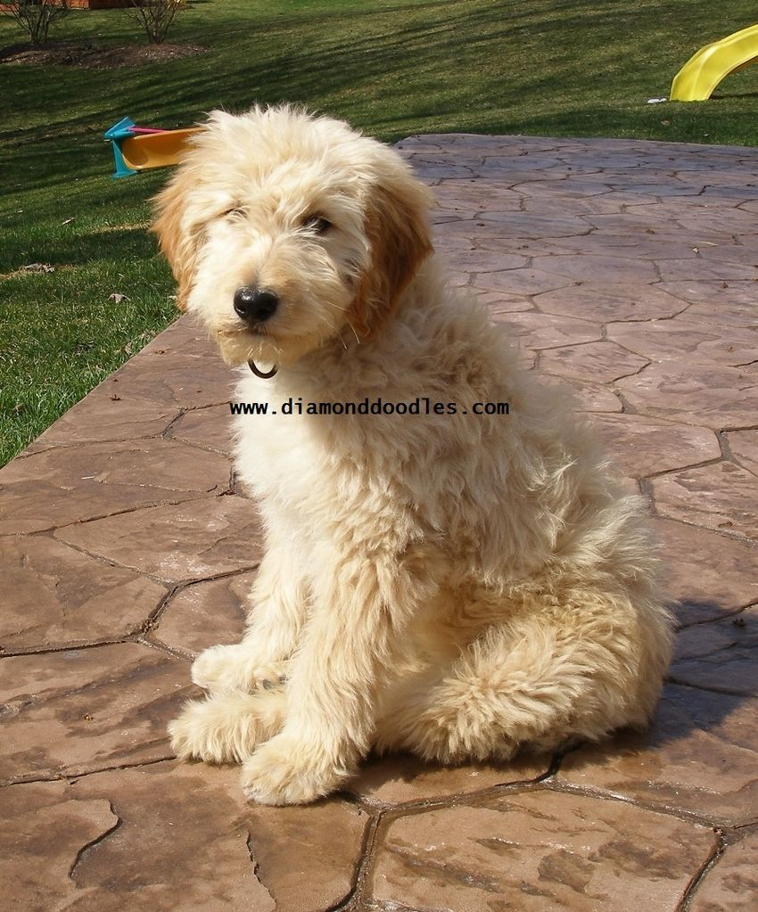 softcoated wheaten terrier poodle mix Cute Pinterest