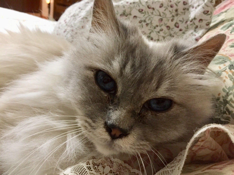 Fantine Purebred cats, Purring, Cat rescue