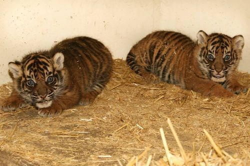 These are the first pictures of two Sumantran Tiger cubs born in early May at Burgers' Zoo in the Netherlands.