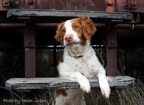 Brittany Dog - Framed by Rivamist, via Flickr
