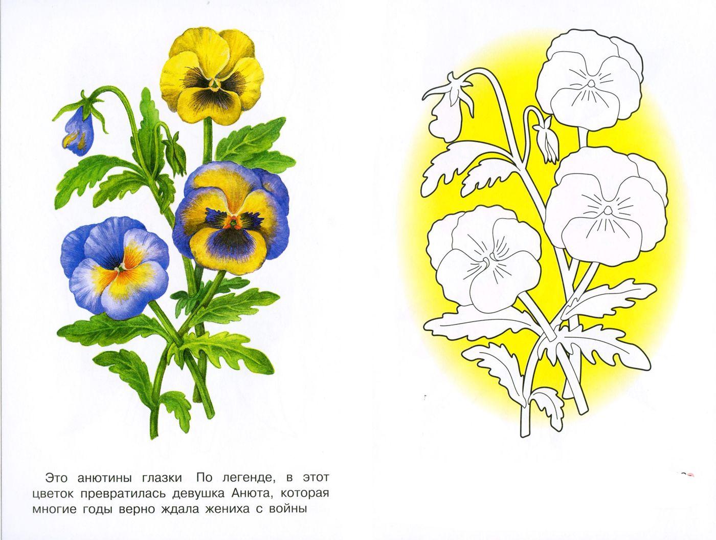 раскраска анютины глазки цветы краисвые | Раскраски ...